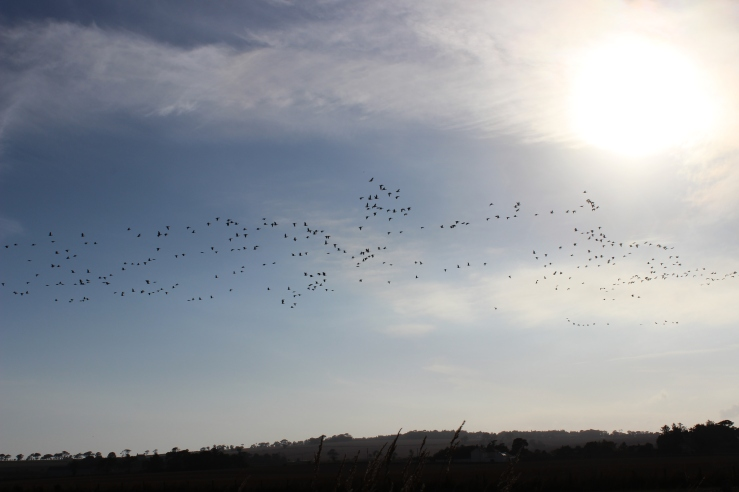 wild geese 29/9/13