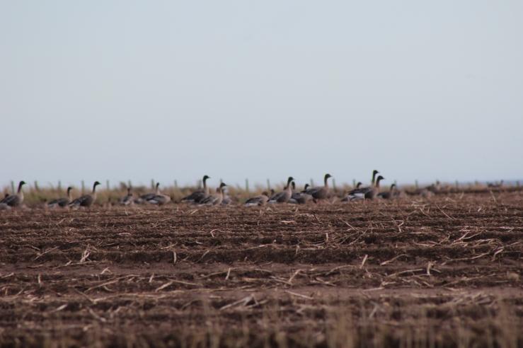 wild geese feeding on potatoe ground