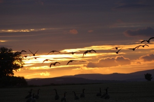ferryden wild fowl