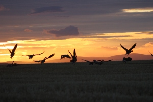 wild canada geese at sunset